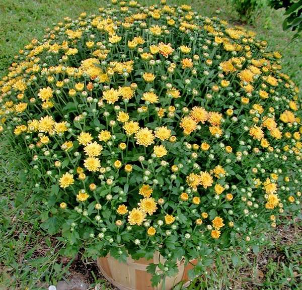 Plant mums early for success