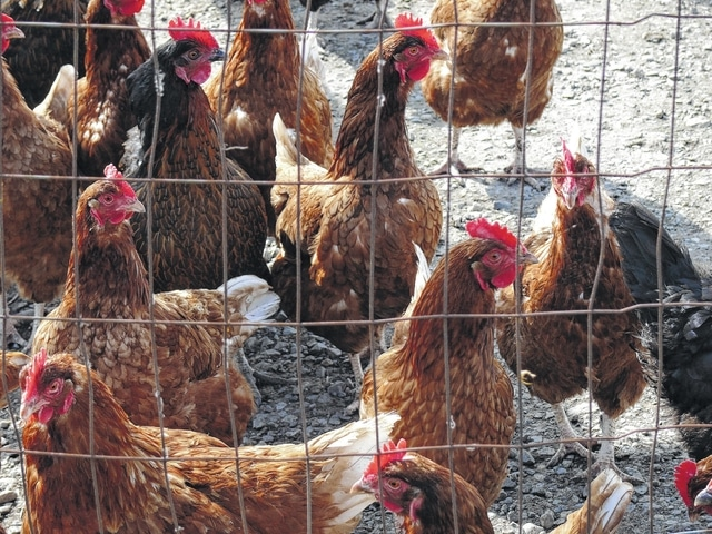 Ohio lifts poultry show ban
