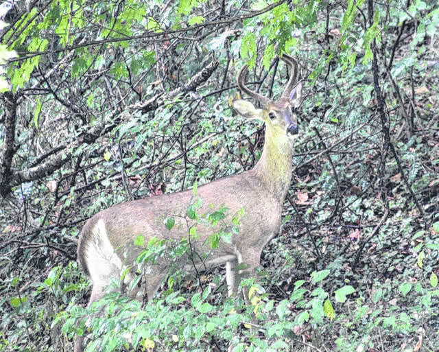 Whitetail deer are native to the US, Canada, Mexico, Central America an South America. This deer was spotted in Meigs County.