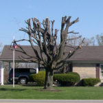 Trees – topping is harmful