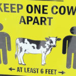 At a county fair amid COVID-19, distancing by keeping 'one cow apart'
