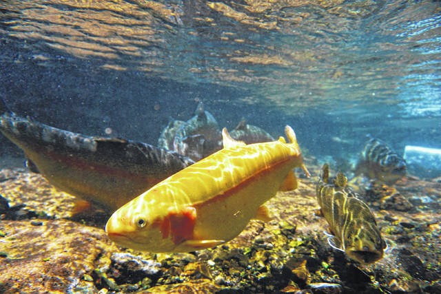 The West Virginia Division of Natural Resources will stock 50,000 golden rainbow trout from Tuesday, March 23, through Saturday, April 3, at more than 60 lakes and streams, including waters in or near 15 state parks and forests. (Office of Gov. Jim Justice | Courtesy)