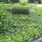 Ground Cover Plants Save Maintenance
