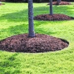 Mulch Circles Are Good for Trees