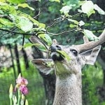 Landscaping With Deer Resistant Plants