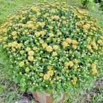 Mums: Early Planting is Best