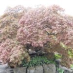 Do dwarf trees really stay small?