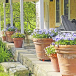Pansies Shrug Off Late Frost