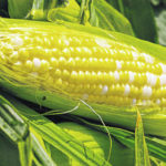 Tips for Handling Crispy Sweet Corn