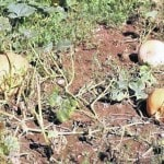 Pumpkin Field Night to focus on managing pests, disease