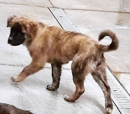 Ivy still is very much a puppy at 14 weeks old. This cute 28-pound Mastiff mix is ready to be adopted from Barely Used Pets.