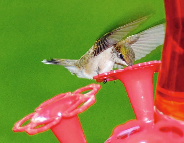 Hummingbirds are a favorite of birdwatchers. They migrate from Central and South America to Ohio.