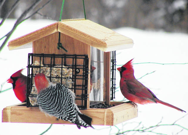 Cardinals and woodpeckers gather around one of the many birdfeeders at Aullwood.