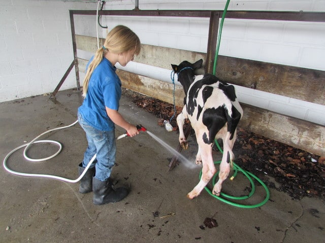 """Chloe Shellenberger, 9, washes her cow """"Lucy"""" in the wash stands at the Miami County Fair Friday morning. It's Chloe's first year of 4-H and she is a member of the Newton Blue Ribbon 4-H club."""