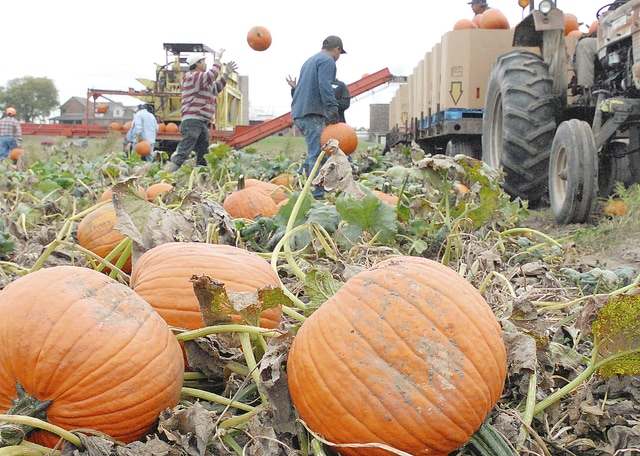 Anthony Weber | Troy Daily News Fulton Farms have already had pumpkins on display for several weeks at their market and workers continue to collect pumpkins during the season to be distributed to area markets. Nearly 80 acres of pumpkins are being harvested at Fultons.