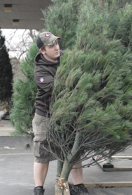 Anthony Weber | Troy Daily News Josh Dawson sets up several white pines at B-K Root Beer Tuesday in Troy. The root beer stand has been selling Christmas trees since Thanksgiving and offers six or seven types of trees through the holiday season.