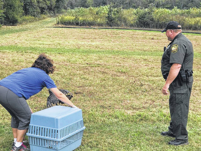 Brukner Nature Center's Becky Crow and ODNR Wildlife Officer Jeff Wenning release a rehabilitated turkey back into the wild Friday.