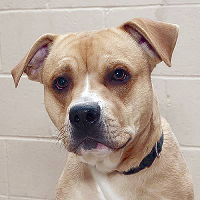 <strong>Meet Wrangler</strong> Wrangler was found wandering loose out in the country. This handsome boy is as sweet as they come. He has not met a human that he does not like. He is full of wiggles and tail wags. Wrangler would love a nice warm home to spend his time playing in. Come in and meet his handsome guy today. If you would be interested in this dog, or one of the other dogs and cats that need forever homes, visit 1110 N. County Road 25-A, Troy, call (937) 332-6919, or email mcas6919@yahoo.com for more information. Visit www.co.miami.oh.us for more adoptable pets.