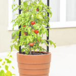 Simple strategies for larger tomato harvest