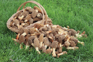 Morel mushrooms are nature's delicious gift
