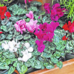 Melinda Myers: Brighten your home with a colorful cyclamen
