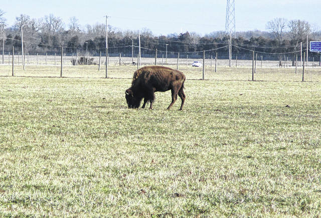 One of the buffalo that can be seen roaming the field on State Route 571.