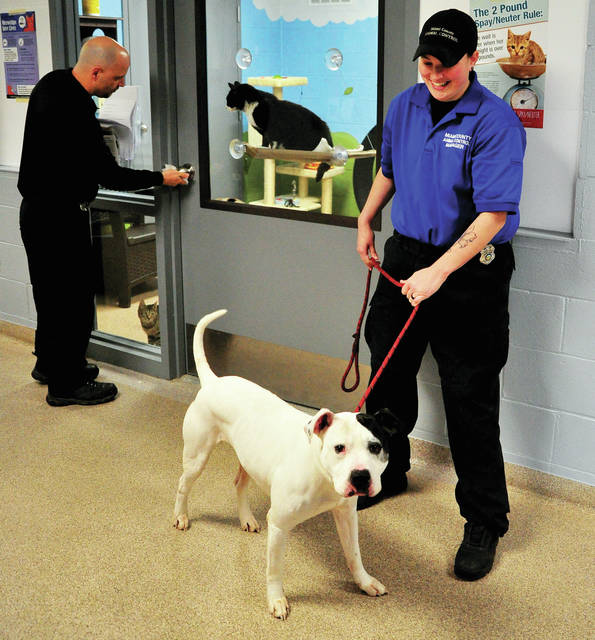 Miami County Animal Control Officer Rich Corpac, far left, sanitizes doors following a visit by prospective adoptive parents as manager of the facility Morgan Howard watches over Kobe, an approximately 7-year-old Pit Bull Terrier. Watching from the window is Dottie, a female cat who is around 3 years old. The shelter is limiting access during the COVID-19 crisis, but many animals are still available for adoption. Shelter employees take care to sanitize surfaces between visitors. Dottie and Kobe, along with many other dogs and cats are available for adoption. To view other animals besides Kobe that need forever homes, visit www.co.miami.oh.us/110/Animal-Shelter.