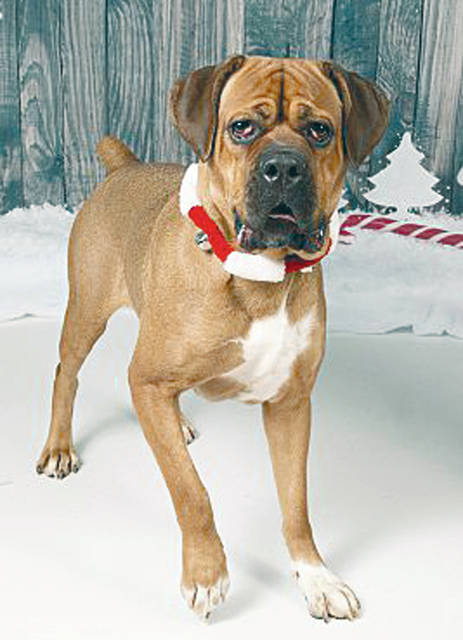 <strong>Meet Princess</strong> Princess is a 1-2-year-old Mastiff/Boxer mix just waiting for her own forever home. She is a sweet girl that loves to play and cuddle. Miami County Animal Shelter staff feel that Princess would need a home without men and younger children. Unfortunately it appears that so far in her life people have let her down. She has so much potential to learn that a good guy could be fun and that kids are the best. But for right now, she needs a nice lady willing to take it slow and teach her how good life can be. If the perfect woman were willing to take a chance on her, she will repay you with all the love and slobbery dog kisses you'd ever want. If you're interested in adopting Princess, call the Miami County Animal Shelter in Troy at 332-6919 to set up an appointment to see her. Visit www.co.miami.oh.us/110/Animal-Shelter to see more animals that need homes.
