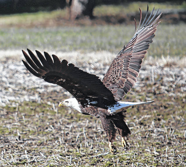 Denise Thacker snapped these photos of a bald eagle along Center Road where it becomes Second Creek, heading out of Blanchester. She took the photos after Nebreska McHone had posted a video of the eagle on Facebook.