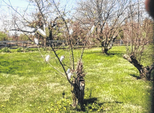 An old orchard gives life to a new orchard using air layering to produce a new generation.