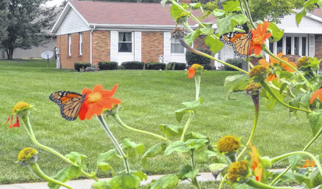 The Monarch Butterflies begin their migration in September, according to Wikipedia. There have been numerous Monarch Butterflies stopping to enjoy the Mexican Sunflowers located near the edge of the street on Leyland Park Drive, according to local resident Gary De Fayette.