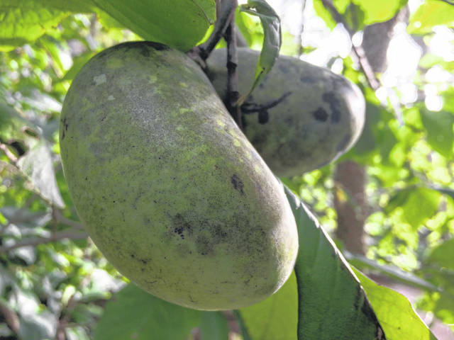 Now's the time to head out into the wood for Ohio's largest fruit, the paw-paw.