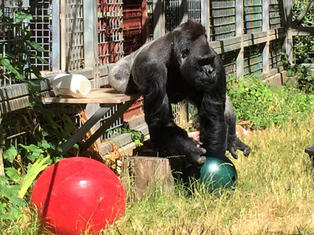In this 2016 photo provided by the Cincinnati Zoo and Botanical Garden, the silverback gorilla Ndume picks up a toy at The Gorilla Foundation's preserve in California's Santa Cruz mountains. The zoo that's suing the conservatory for the return of the gorilla has asked a judge to rule in the zoo's favor without going to trial. Zoo officials claim Ndume has since lived in isolation to his detriment, while the foundation says a transfer would harm him and pose unnecessary risk. (Ron Evans/Cincinnati Zoo and Botanical Garden via AP)