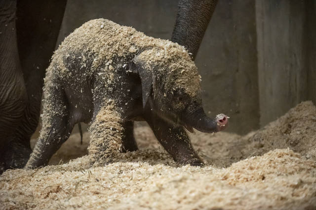FILE - This undated file photo provided by Columbus Zoo and Aquarium shows an Asian baby elephant, born Thursday, Dec. 6, 2018, in Powell, Ohio. The Columbus Zoo and Aquarium says the elephant born three weeks ago has died. The zoo says the female Asian elephant died Wednesday, Dec. 26, 2018, after a sudden illness. (Grahm S. Jones/Columbus Zoo and Aquarium via AP, File)