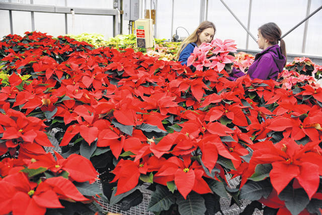Wilmington College Horticulture Club members Anna Buck, left, and Renee Sherman examine a poinsettia in the midst of a sea of 275 red, pink, white and mixed color plants they've been caring for since early September.
