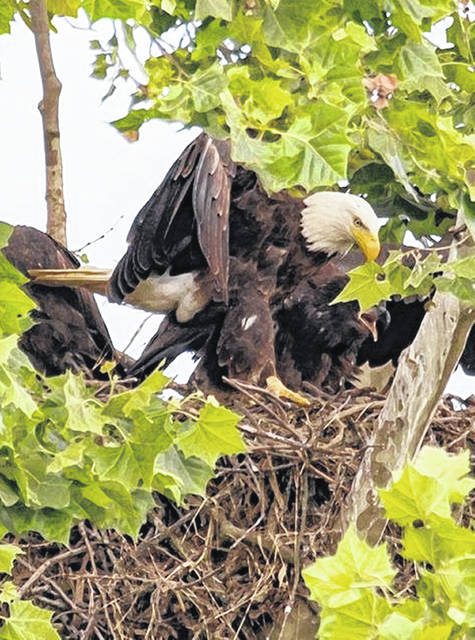 This photo of the bald eagle parents with their eaglets is from the June 2017 nest at Cowan Lake State Park, where the eaglets were raised — and hopefully more will grow strong there in 2019. Please don't disturb any local eagles, but if you have taken any recent photos of bald eagles living in Clinton County, please share them at info@wnewsj.com .