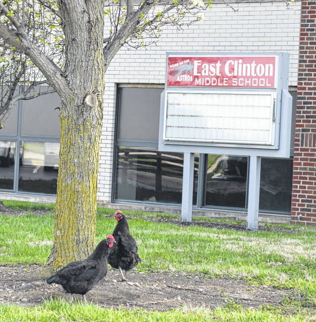 If there was any question about East Clinton Local Schools being a rural school district, these chickens gathered outside the middle school in Lees Creek this week while the school board convened inside the building.