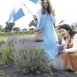 Among fields of lavender