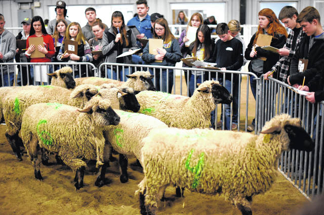 High School students judge sheep in the general livestock arena. For the duration of the competition, the student groups rotate to judge various corrals of animals.