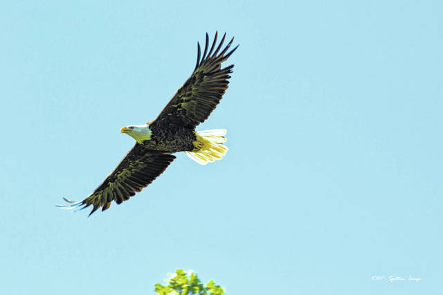 An eagle which nests at Cowan Lake State Park takes flight.