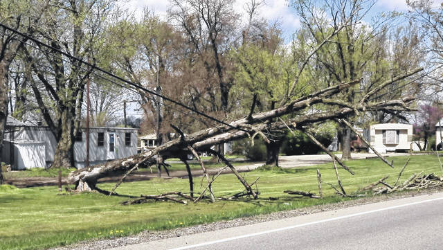 This tree toppled over at White's Mobile Home Park during the storm and high winds Wednesday night.
