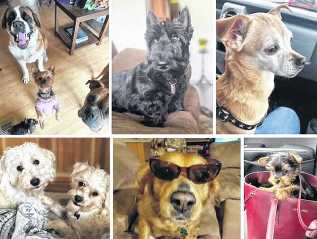 """Clockwise from top left: Remington, Frankie, Delilah and Ruger gang up on their herder; Delco on duty at """"Scotland Yard""""?; Moto takes a ride; Cash and Scout snuggle; Chloe is looking cool; Ruger is in the bag."""