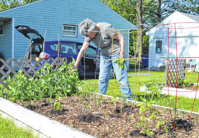 Scilla Wahrhaftig checks on the progress of peas in a garden bed at the WC Community Gardens.