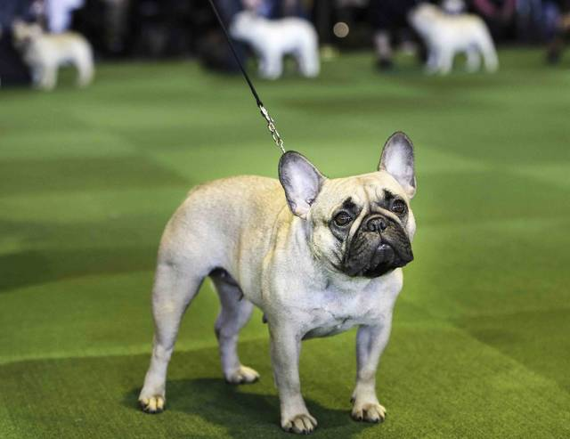 FILE - In this Feb. 16, 2015, file photo, a French bulldog competes at the Westminster Kennel Club show in New York. The French Bulldog is among the top ten popular breeds for 2020. (AP Photo/Seth Wenig, File)