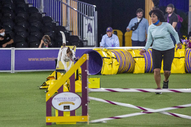 A mixed breed named Crime runs in the agility competition with handler Debra Lazaro at the Westminster Kennel Club dog show in Tarrytown, N.Y., on Friday, June 11, 2021. Because of coronavirus concerns, the show was rescheduled from its usual February dates, is being held in outdoor tents, and isn't allowing in-person spectators. (AP Photo/Ted Shaffrey)