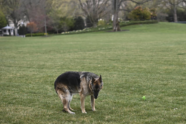 """FILE - In this March 31, 2021, file photo Champ, one of President Joe Biden and first lady Jill Biden's dogs is seen on the South Lawn of the White House in Washington. President Joe Biden announced Saturday that Champ, the family's elder dog, passed away at """"peacefully at home"""" at 13 years old. (Mandel Ngan/Pool via AP, File)"""