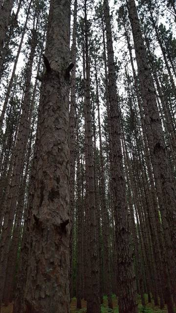 Metroparks Toledo plans to sell timber from dead and collapsing pine trees in Oak Openings Preserve