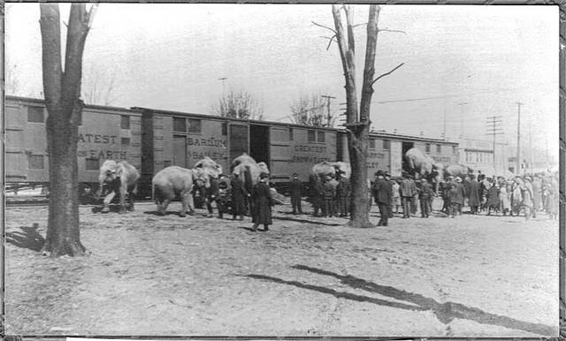 Elephants are unloaded from train cars in Wauseon in 1905 for the Barnum and Bailey Circus.