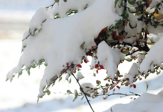 Snow covers a bush following the first snowfall of the season on Monday.