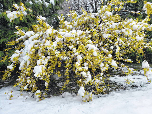 A late-season snowfall blanketed the Swanton area Friday. Warm ground temperatures meant roads stayed wet and snow did not cause driving issues. It did, however, accumulate on grassy surfaces, trees, and yellow flowers of the forsythia, above. The National Weather Service issued a winter weather advisory as 2-4 inches of snow fell.